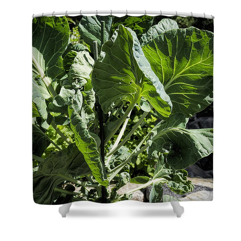 Brussel Sprouts Shower Curtain featuring the photograph Bountiful Brussel Sprouts by Jo-Anne Gazo-McKim