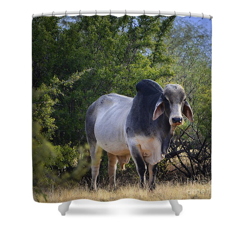 Brahma Cow Shower Curtain For Sale By Donna Greene