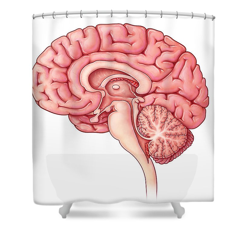 Brain Sagittal Section Illustration Shower Curtain For Sale By Evan Oto