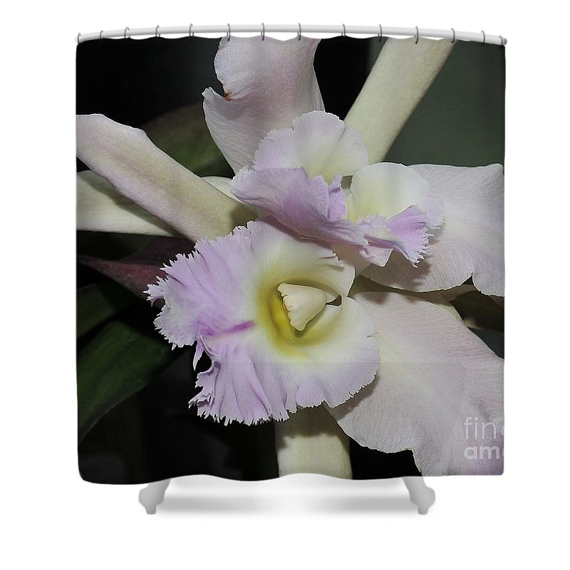 White Orchid Shower Curtain featuring the photograph Brassocattleya Princess Teresa 1 Of 2 by Terri Winkler
