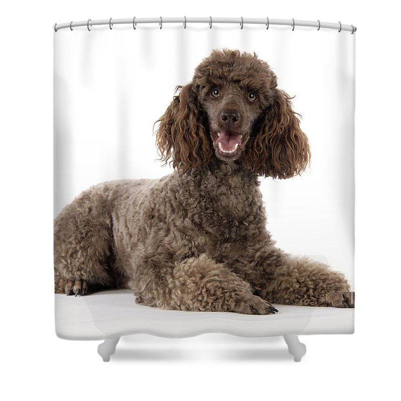 Dog Shower Curtain Featuring The Photograph Brown Miniature Poodle By John Daniels