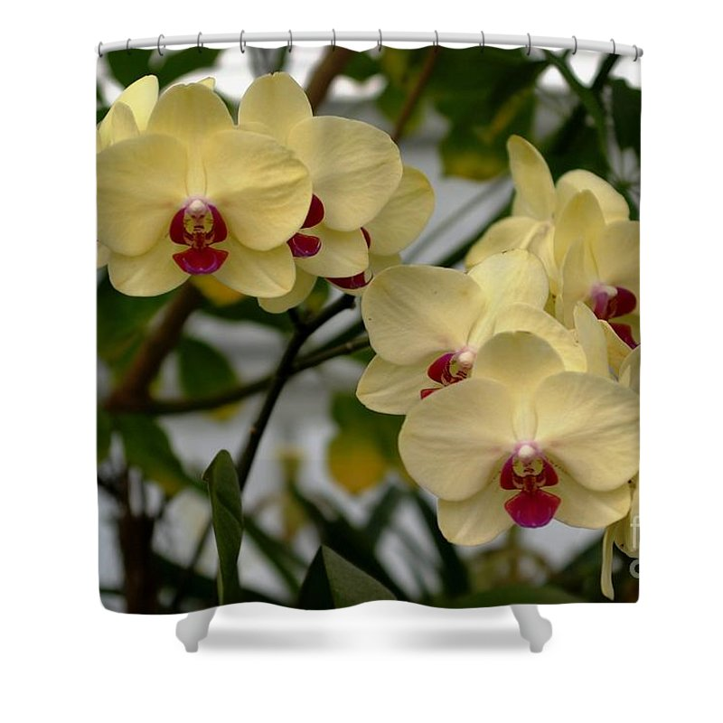 Orchids Shower Curtain featuring the photograph Buttercream Orchids by Living Color Photography Lorraine Lynch