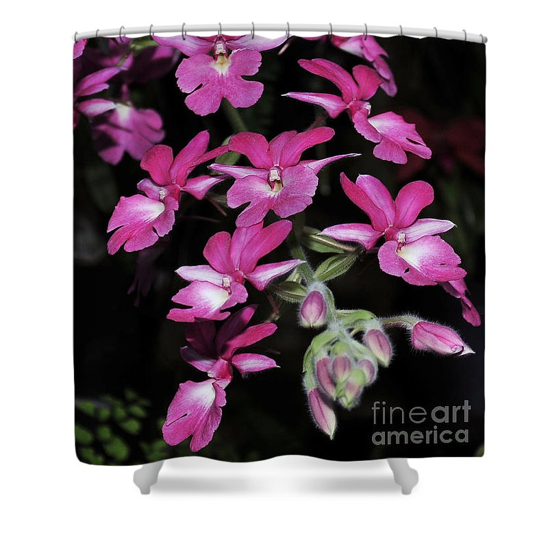 Pink Orchid Shower Curtain featuring the photograph Calanthe Rubens #1 Of 2 by Terri Winkler