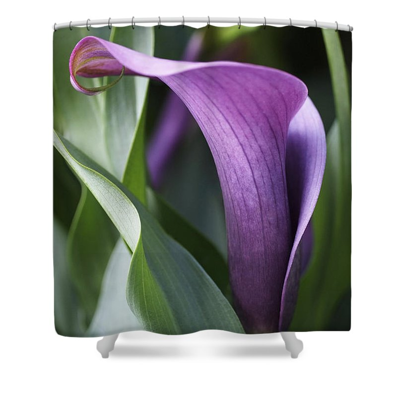 Calla Lily In Purple Ombre Shower Curtain For Sale By Rona Black