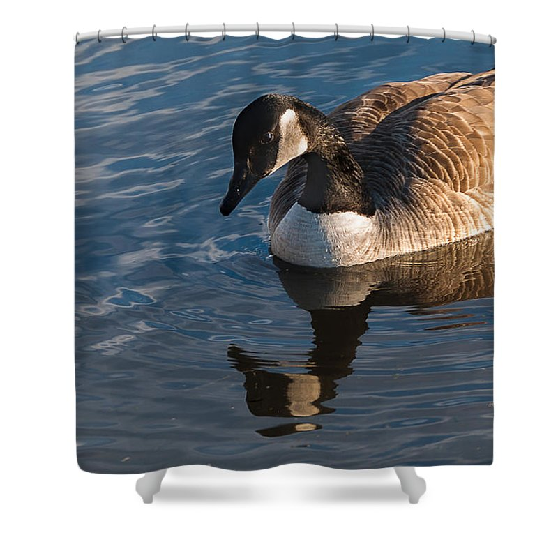 Winter Scene Shower Curtain featuring the photograph Canada Goose Winter Swim by Edward Peterson