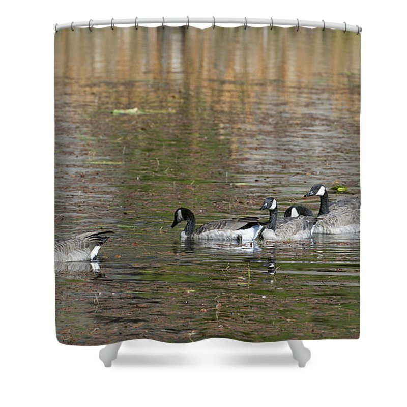 Canadian Shower Curtain featuring the photograph Canadian Geese by Gary Langley