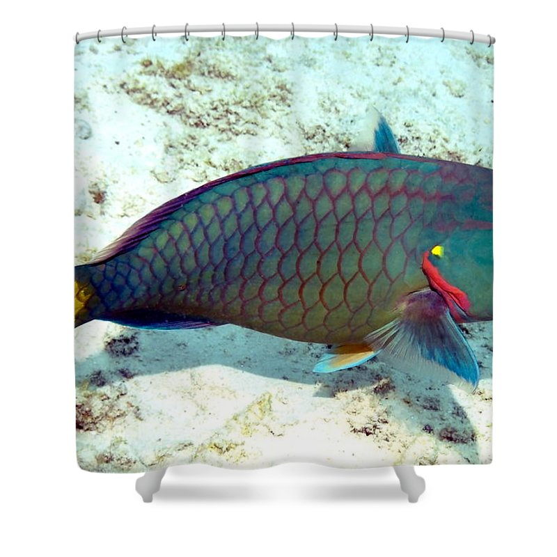 Nature Shower Curtain featuring the photograph Caribbean Stoplight Parrot Fish In Rainbow Colors by Amy McDaniel