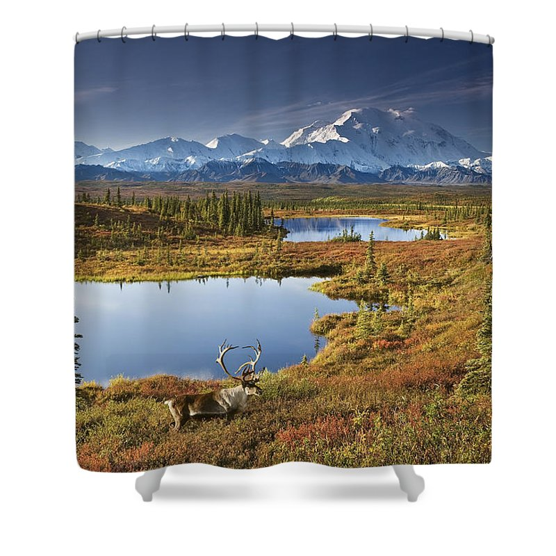 Adult Shower Curtain featuring the photograph Caribou On Tundra In Denali by John R DeLapp