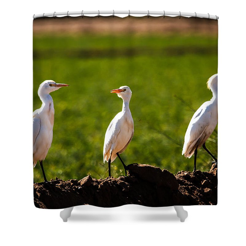 Birds Shower Curtain featuring the photograph Cattle Egrets by Robert Bales