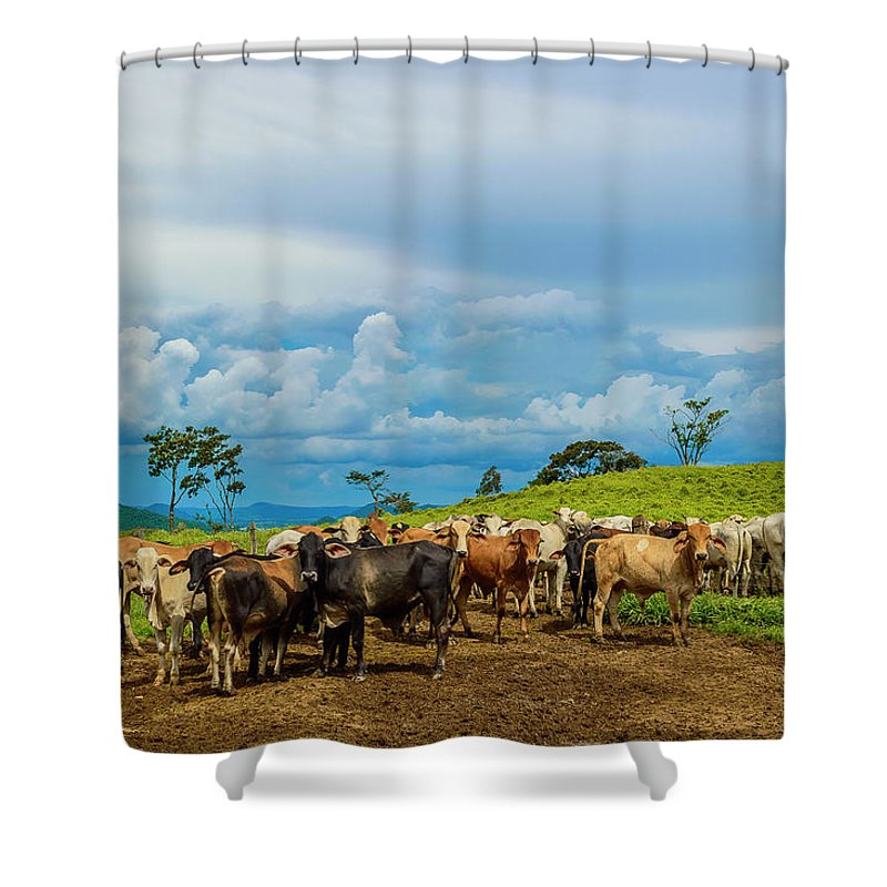 Grass Shower Curtain featuring the photograph Cattle by Kcris Ramos