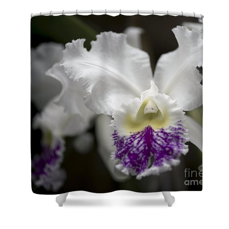 White Orchid Shower Curtain featuring the photograph Cattleya Catherine Patterson Full Bloom by Terri Winkler