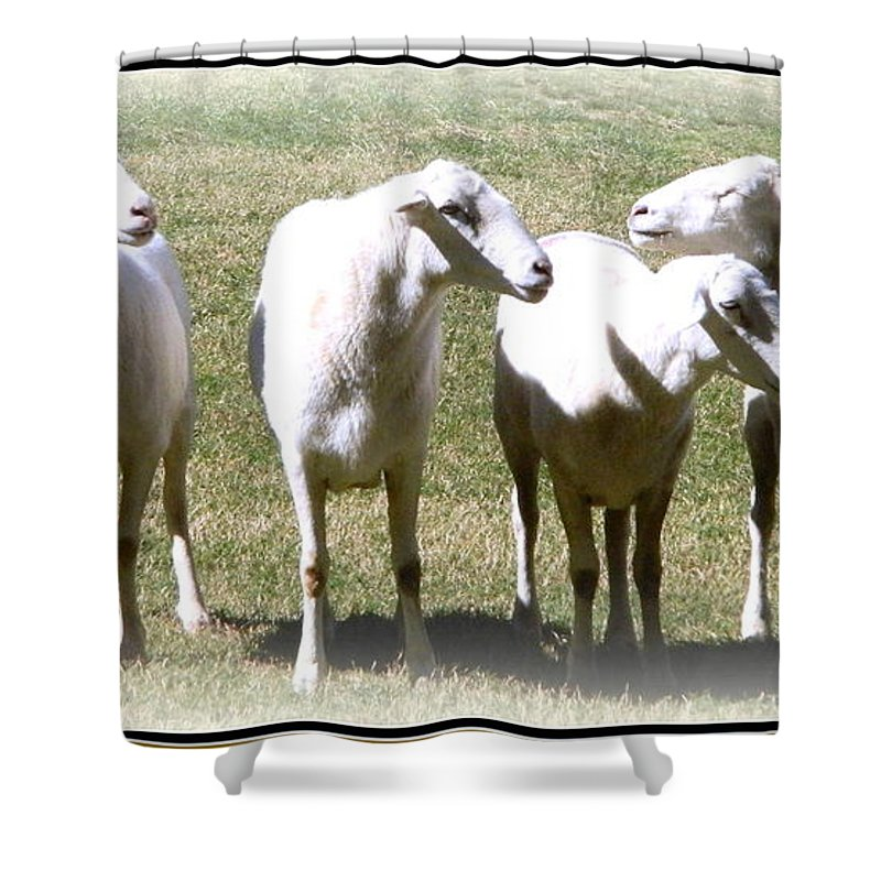 Animals Shower Curtain featuring the photograph Cheviot Sheep 2 by Kathy Barney