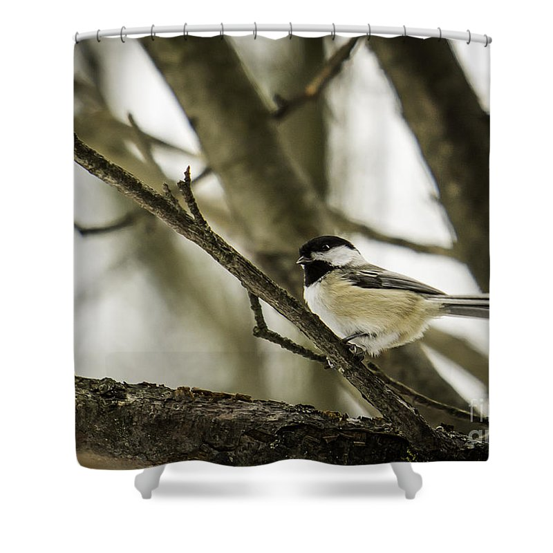 Chickadee Shower Curtain featuring the photograph Chickadee by Brad Marzolf Photography