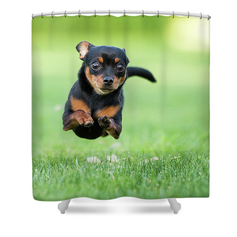 Pets Shower Curtain featuring the photograph Chihuahua Dog Running by Purple Collar Pet Photography
