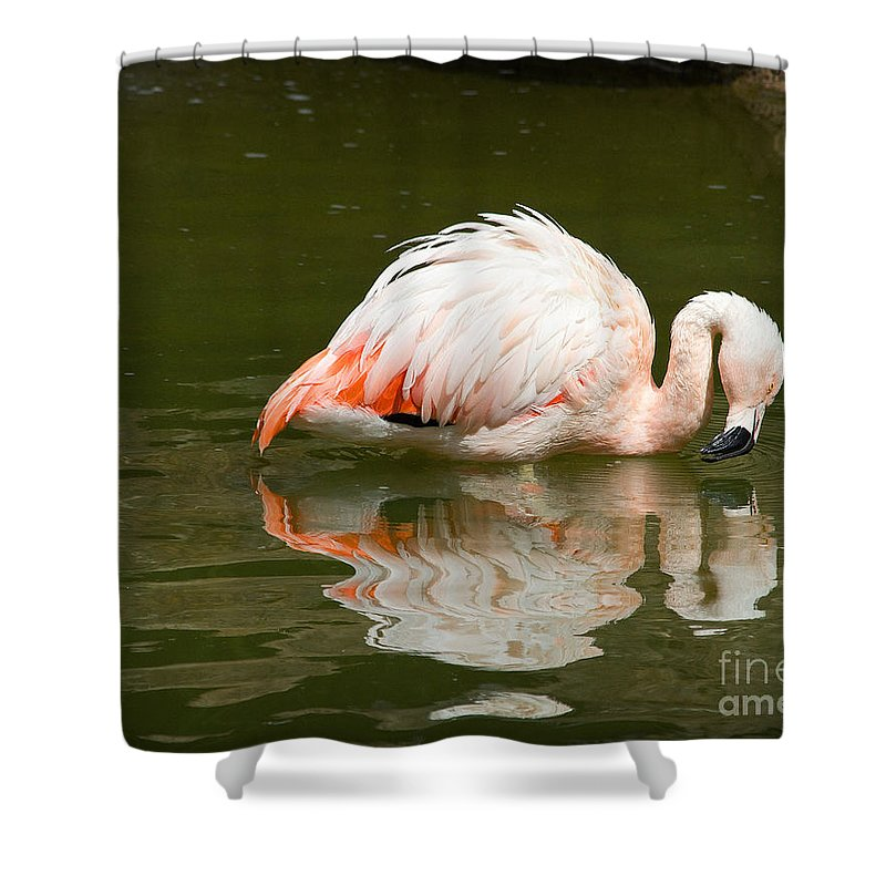 Flamingo Shower Curtain featuring the photograph Chilean Flamingo Reflection by TN Fairey