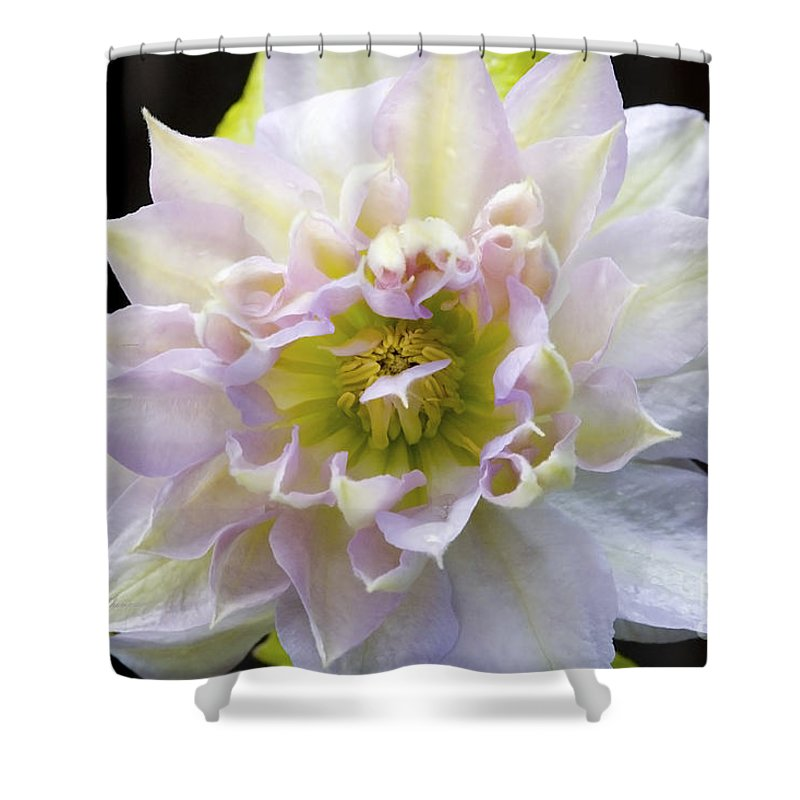 Clematis Shower Curtain featuring the photograph Clematis 'belle Of Woking' by Richard J Thompson