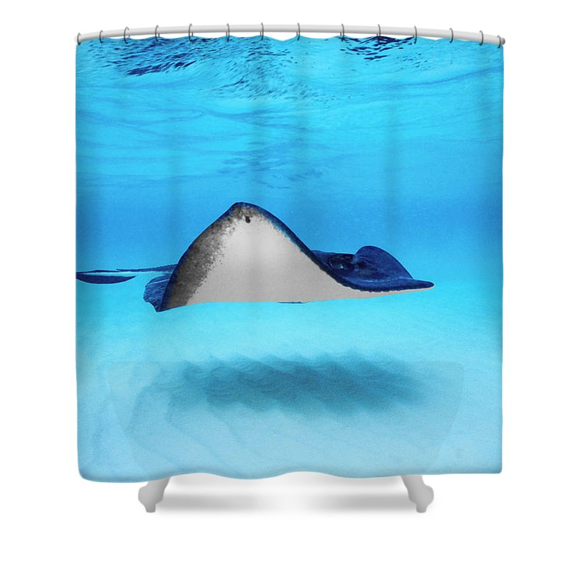 Dasyatis Americana Shower Curtains | Pixels