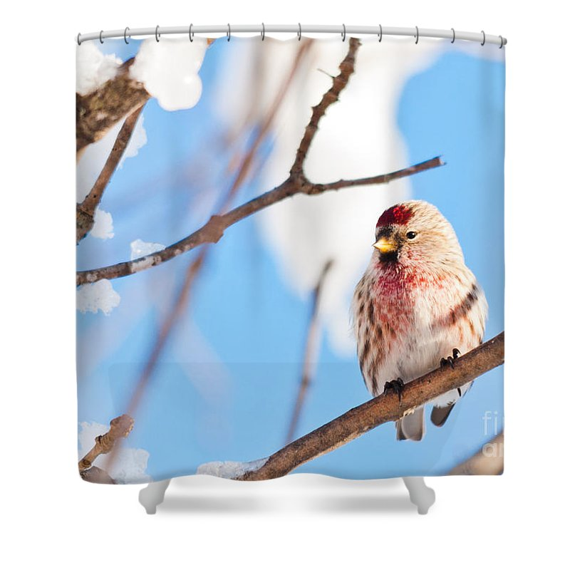 Landscapes Shower Curtain featuring the photograph Cold Redpoll by Cheryl Baxter