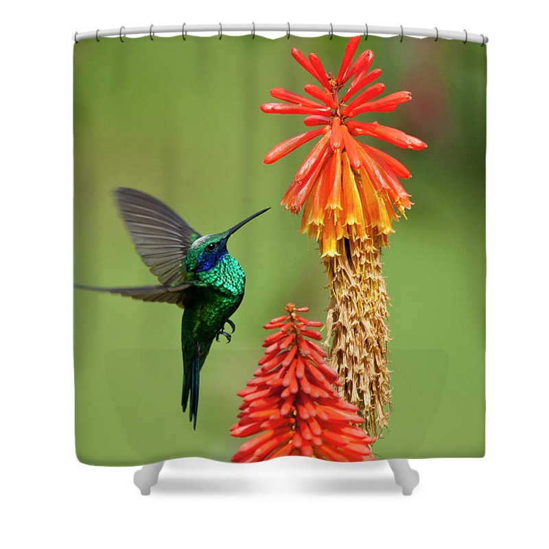 Animal Themes Shower Curtain featuring the photograph Colibri Coruscans by Photo By Priscilla Burcher