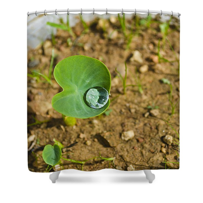 Colocasia Shower Curtain featuring the photograph Colocasia Antiquorum Seedling And Water Droplet by Image World