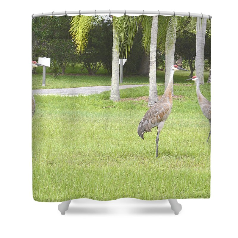Sandhill Crane Shower Curtain featuring the photograph Comming by To-Tam Gerwe