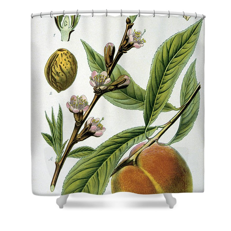 Common Shower Curtain featuring the painting Common Peace Persica Vulgaris by Anonymous