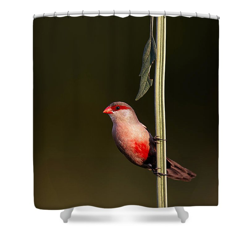 Common Shower Curtain featuring the photograph Common Waxbill by Johan Swanepoel