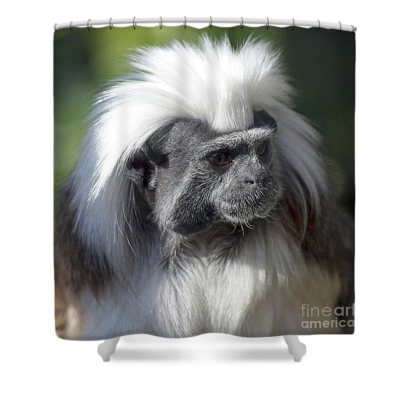 Cotton Top Tamarin Monkey Shower Curtain featuring the photograph Cottontop Tamarin Saguinus Oedipus by Terri Waters