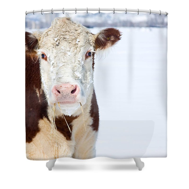 Cow Shower Curtain featuring the photograph Cow - Fine Art Photography Print by James BO Insogna