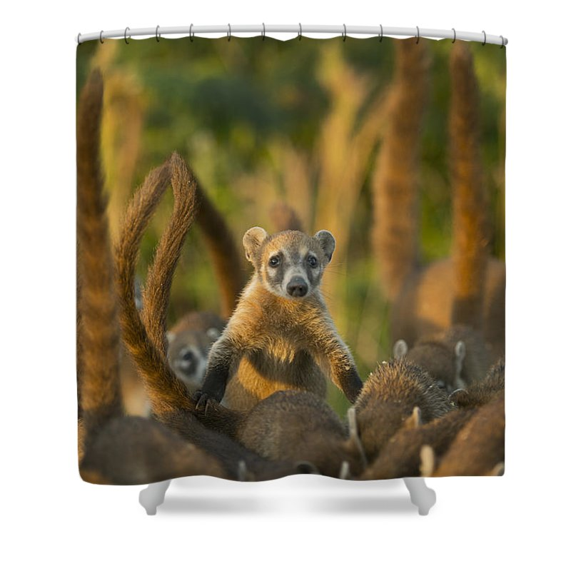 Kevin Schafer Shower Curtain featuring the photograph Cozumel Island Coati Cozumel Island by Kevin Schafer