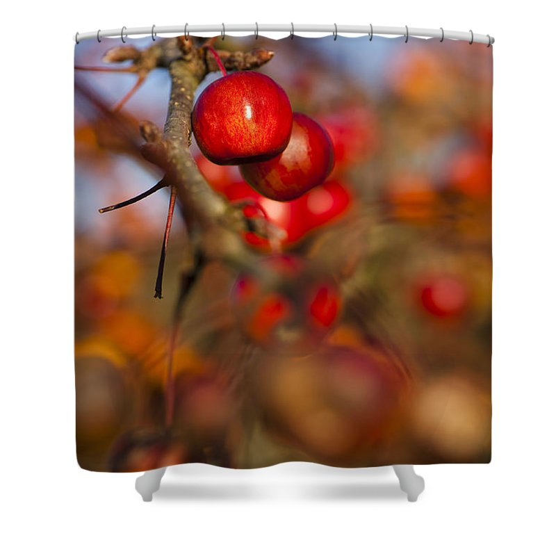 Crab Apples Shower Curtain featuring the photograph Crab Apple Bright by Anne Gilbert