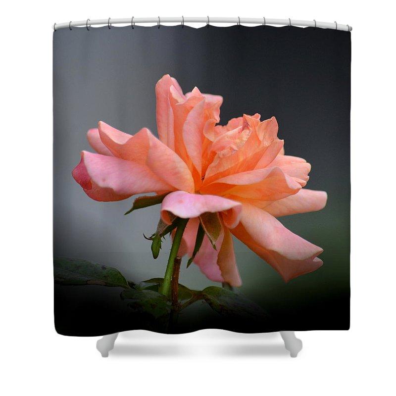 Creamy Peach Rose Shower Curtain featuring the photograph Creamy Peach Rose by Maria Urso