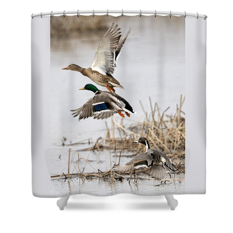Mallard Drake Shower Curtains