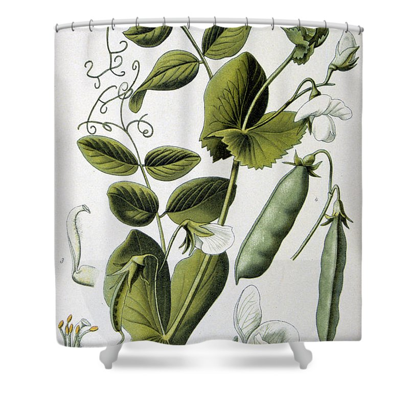 Culinary Shower Curtain featuring the painting Culinary Pea Pisum Sativum by Anonymous