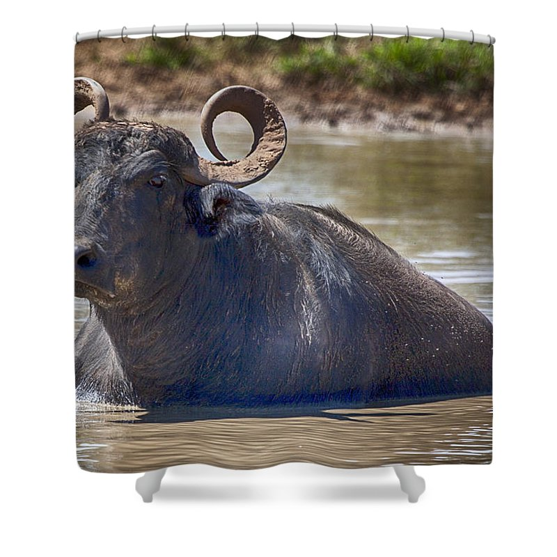 Water Buffalo Shower Curtain featuring the photograph Curly Horns by Douglas Barnard