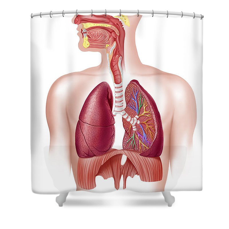 Air Shower Curtain featuring the digital art Cutaway Diagram Of Human Respiratory by Leonello Calvetti
