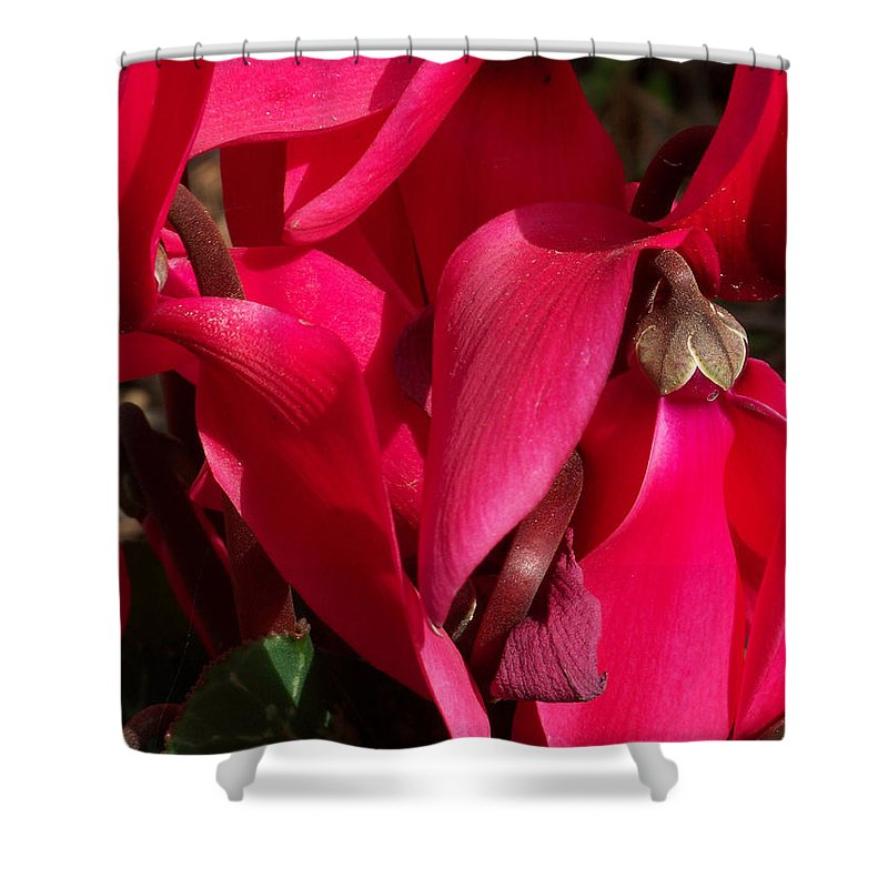 Flowers Shower Curtain featuring the photograph Cyclamen by Kathy McClure
