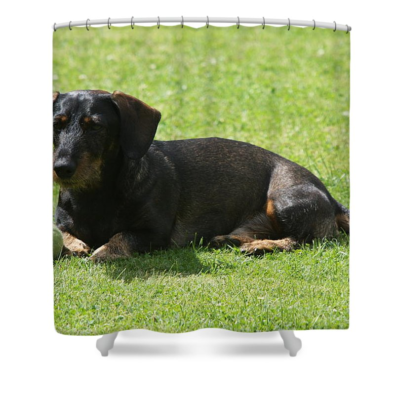 Dog Shower Curtain featuring the photograph Dachshund Wants To Play by Christiane Schulze Art And Photography