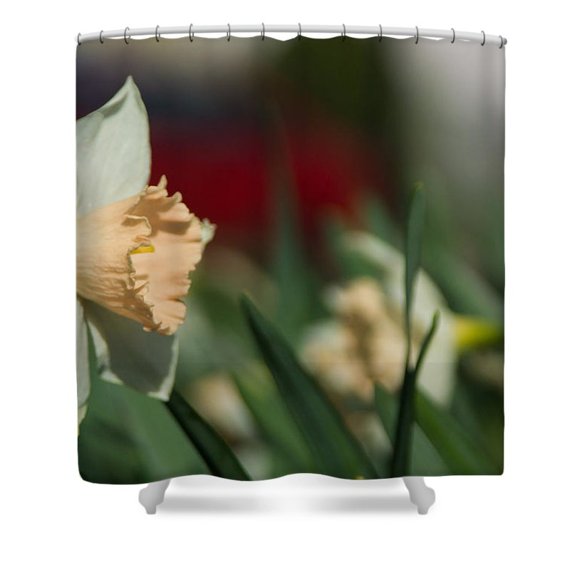 Daffodil Shower Curtain featuring the photograph Daffodil With A Splash Of Red by Photographic Arts And Design Studio