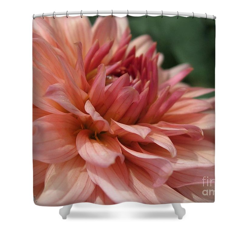 Dahlia Shower Curtain featuring the photograph Dahlia Named Preference by J McCombie