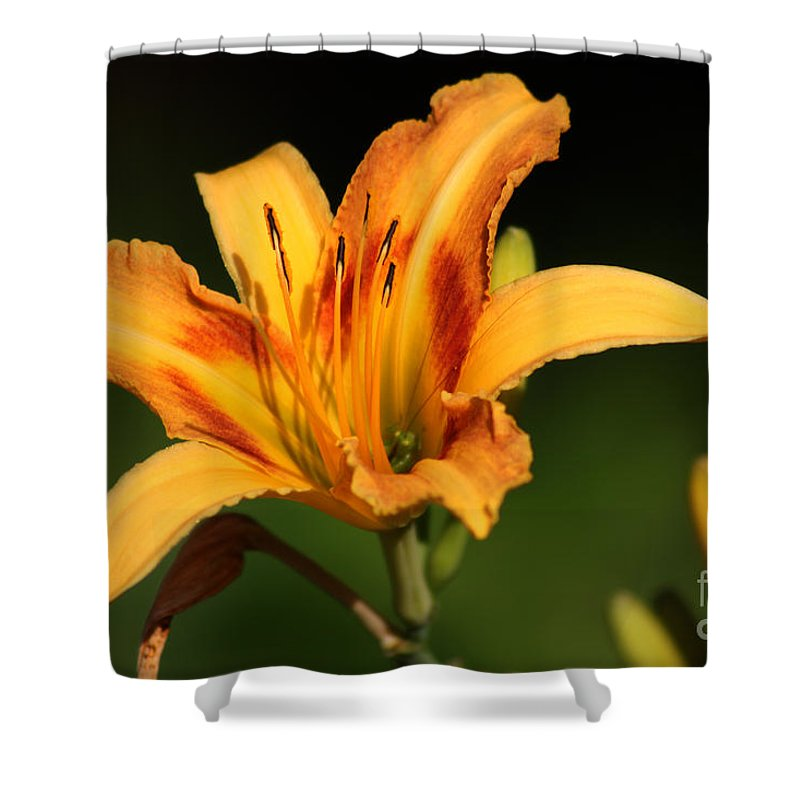 Day Lilly Shower Curtain featuring the photograph Daylillies0131 by Gary Gingrich Galleries
