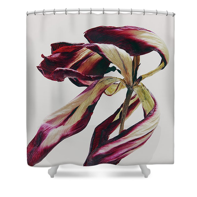 White Background Shower Curtain featuring the photograph Dead Flower by Stilllifephotographer