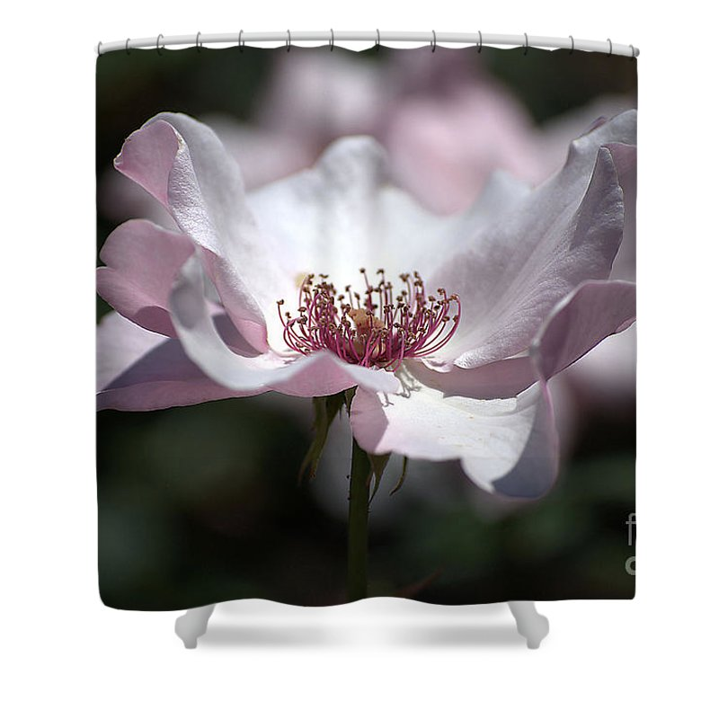 Rose Shower Curtain featuring the photograph Delicate Pink by Sharon Elliott