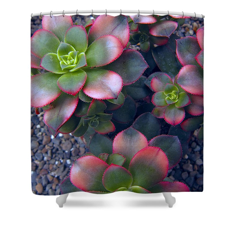hens And Chicks Shower Curtain featuring the photograph Desert Succulents by Daniel Hagerman