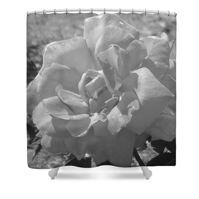 Rose Shower Curtain featuring the photograph Dew Rose by Pharris Art