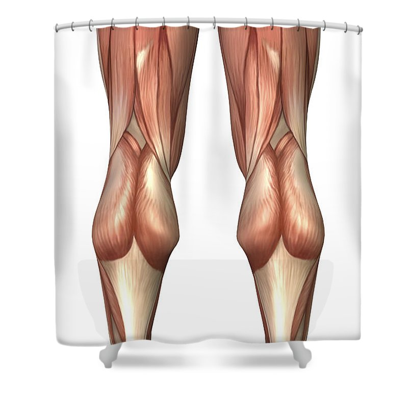 Vertical Shower Curtain featuring the digital art Diagram Illustrating Muscle Groups by Stocktrek Images