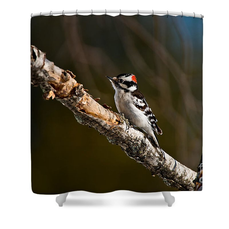 Downy Woodpecker Shower Curtain featuring the photograph Downy Woodpecker Pictures 36 by World Wildlife Photography