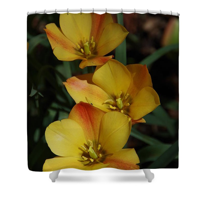 Tulips Shower Curtain featuring the photograph Dreaming by Marilyn Wilson