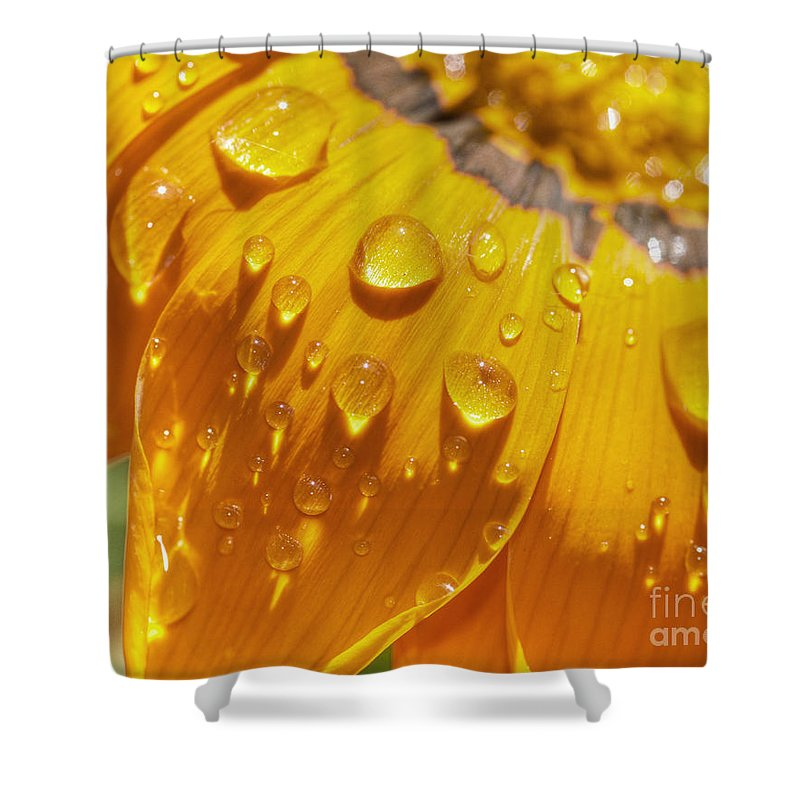 Gazania Shower Curtain featuring the photograph Droplets Of Gold by Chris Fleming