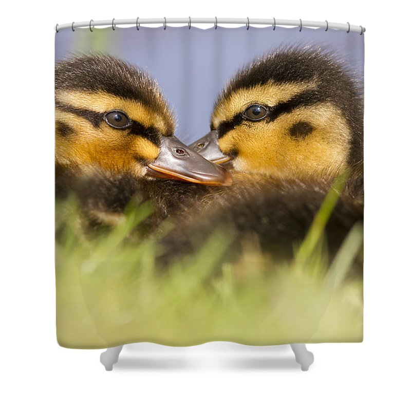 Anas Platyrhynchos Photographs Shower Curtains